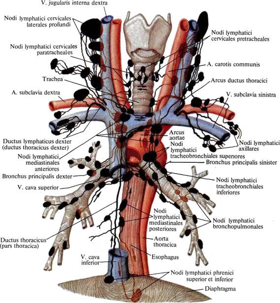 Строение сосудов головы и шеи