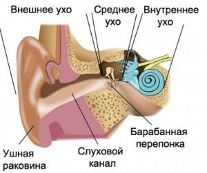 Схема ушной раковины