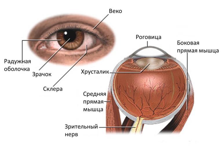 схема строения глаза